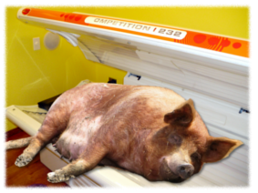 Pig on a sunbed
